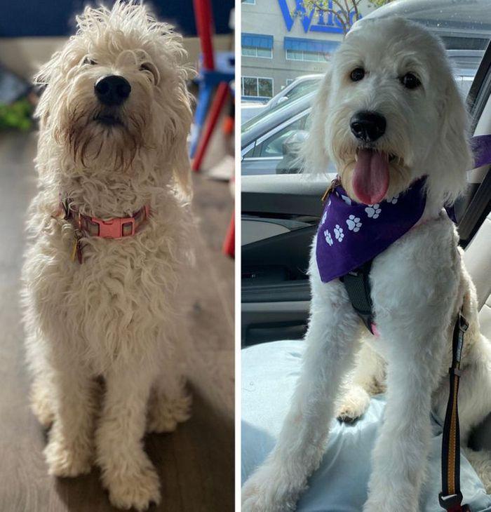 15 cães cujos donos não conseguiam reconhecê-los depois de pegá-los no pet shop 15