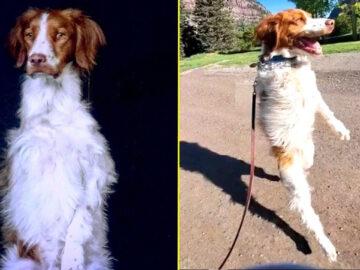 Esse cachorrinho só sabe andar como um humano 3