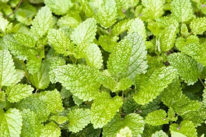 12 plantas medicinais para cultivar em busca da saúde 4