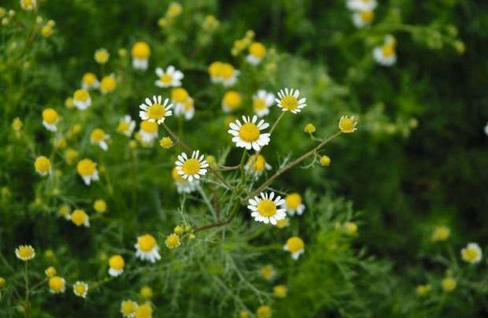 12 plantas medicinais para cultivar em busca da saúde 8